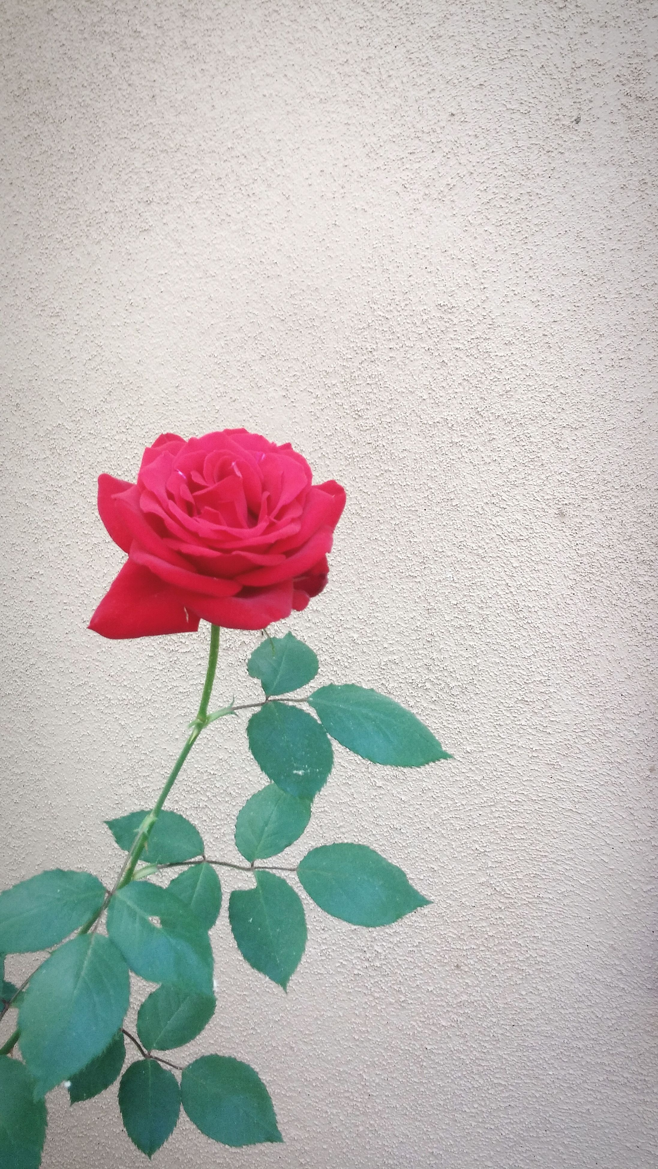flower, petal, freshness, fragility, leaf, flower head, growth, red, plant, rose - flower, beauty in nature, wall - building feature, nature, close-up, blooming, stem, single flower, no people, rose, in bloom