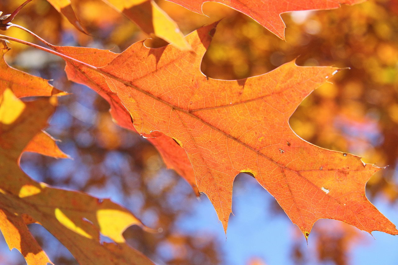 leaf, change, autumn, maple, maple leaf, nature, leaves, orange color, outdoors, day, beauty in nature, focus on foreground, maple tree, dry, close-up, selective focus, no people, tree, branch, scenics