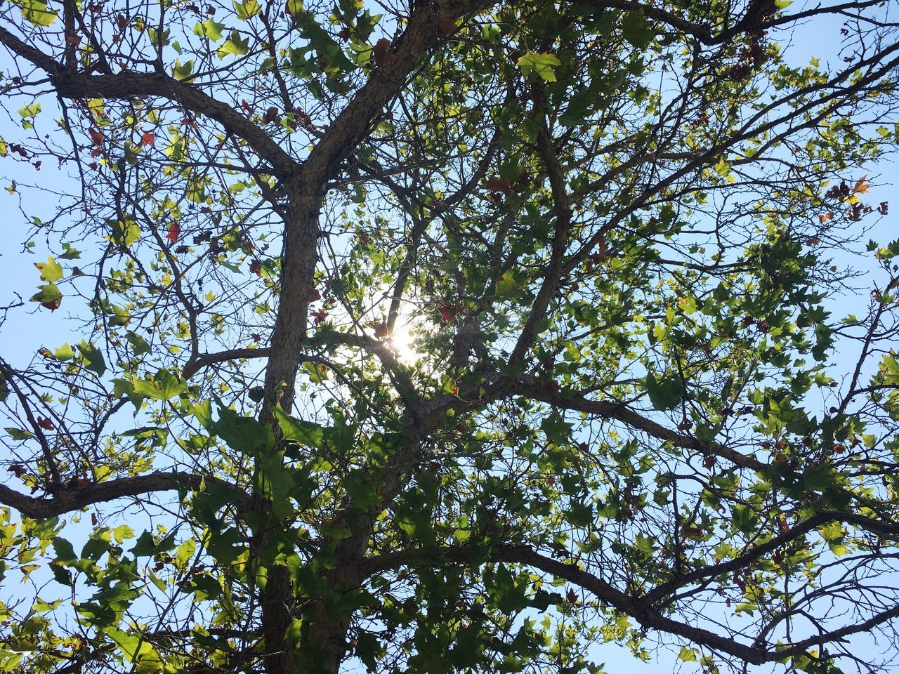 tree, low angle view, nature, growth, branch, day, beauty in nature, outdoors, no people, sky, sunlight, clear sky, forest