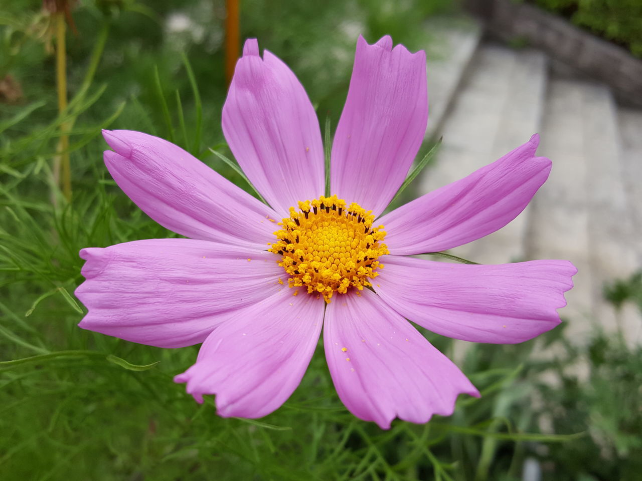 flower, petal, fragility, flower head, nature, beauty in nature, freshness, growth, pollen, plant, blooming, outdoors, no people, cosmos flower, day, close-up, pink color, yellow, osteospermum, crocus