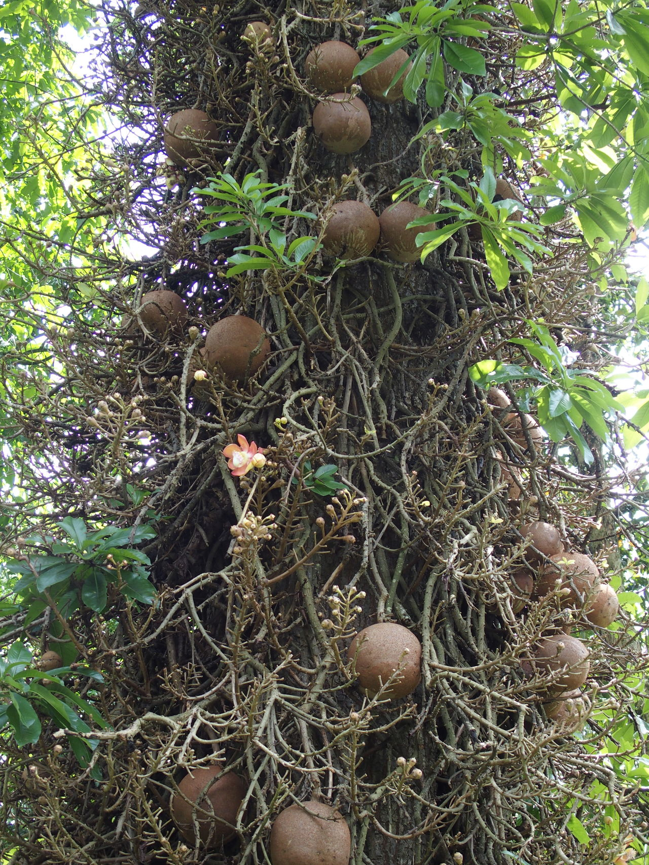 royal botanic garden of Sri Lanka Ayahuma Beauty In Nature Brown Cannonball Tree Canonball Canonball Tree Ceylan Ceylon Couroupita Guianensis Forest Nature Nature No People Outdoors Park - Man Made Space Peradeniya Plant Royal Botanic Garden Sri Lanka Tree