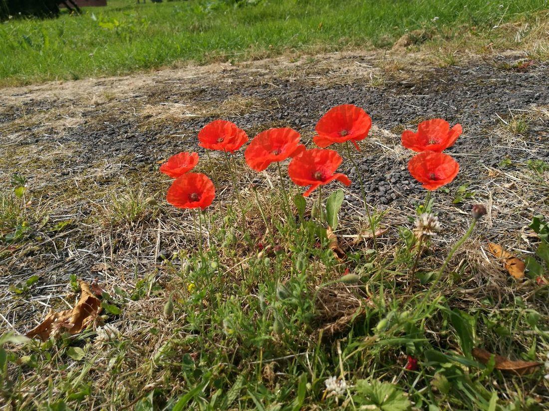Fields Poppy Flowers Naturelovers Field Of Dreams Walking Outdoors
