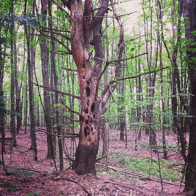 Interesting tree on my hike Sleepyhollowtree Mobbsfarm Jericho Hike nature vtphoto igvermont vermontphotography