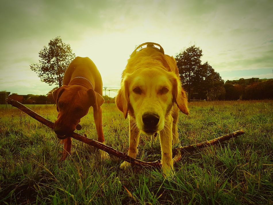 Dog Pets Domestic Animals Animal Themes Dogs FUNNY ANIMALS Rhodesian Ridgeback Nesta Animal Doggy Dogslife