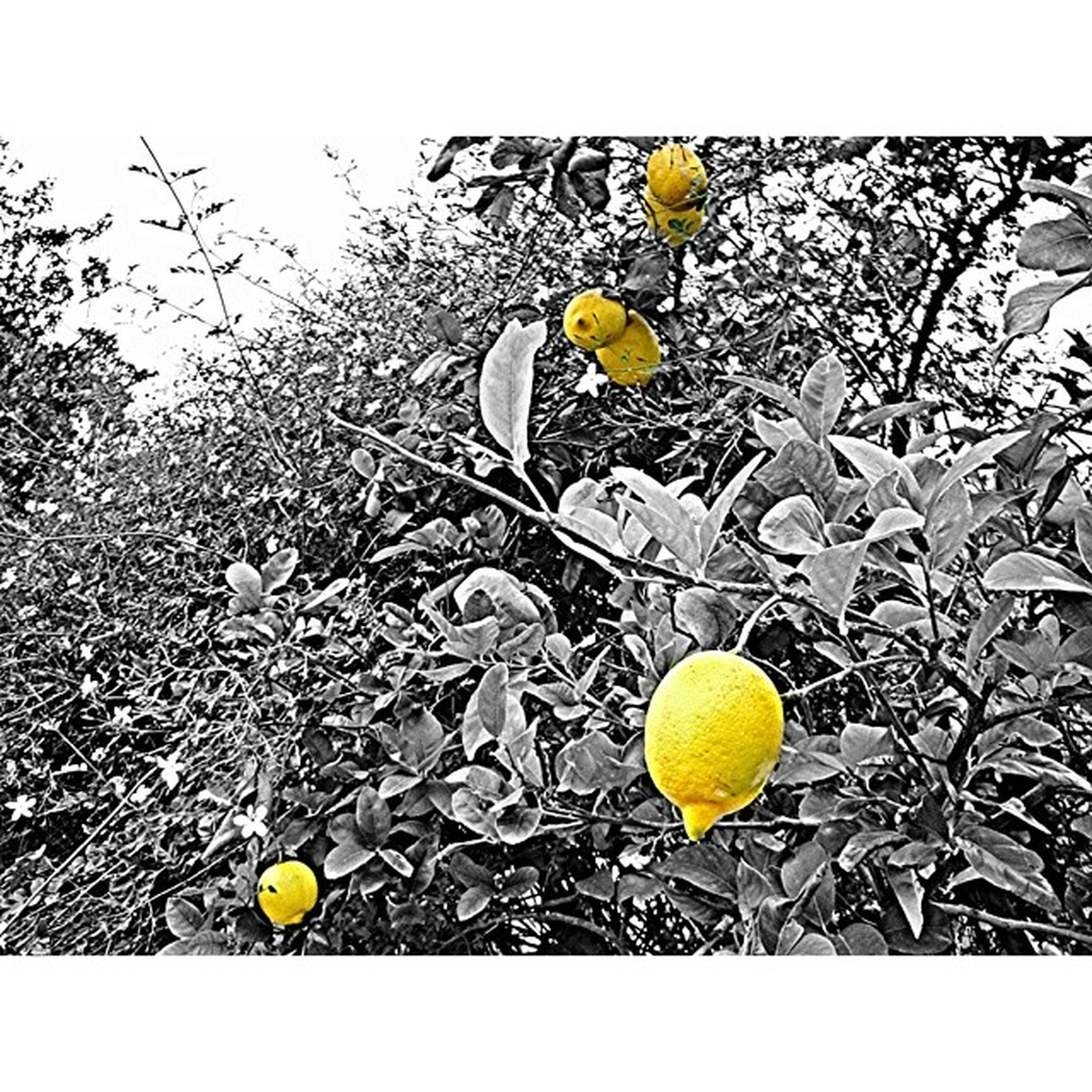 yellow, fruit, high angle view, nature, growth, leaf, day, food, freshness, close-up, transfer print, no people, field, food and drink, outdoors, healthy eating, green color, sunlight, lemon, auto post production filter