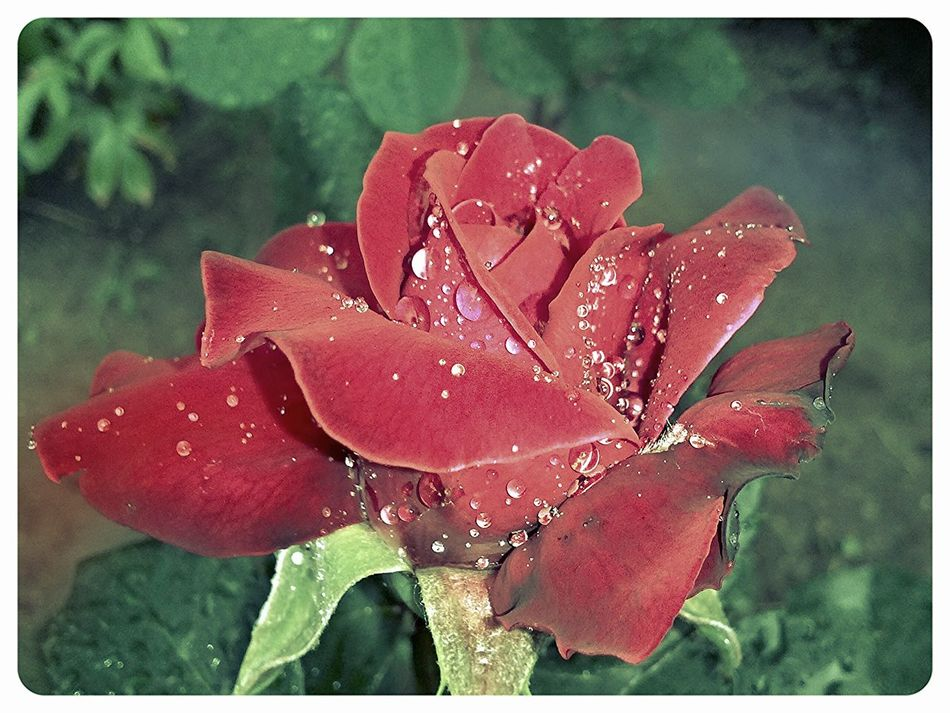 Flowers Rain Drops Roses Nature