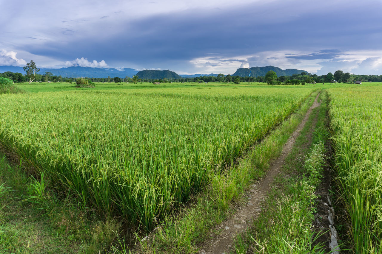 Agriculture Beauty In Nature Cloud - Sky Crop  Day Farm Field Food Green Color Growth Landscape Nature No People Outdoors Rural Scene Scenics Sky Paddy Paddy Field EyeEmNewHere Miles Away The Street Photographer - 2017 EyeEm Awards The Great Outdoors - 2017 EyeEm Awards
