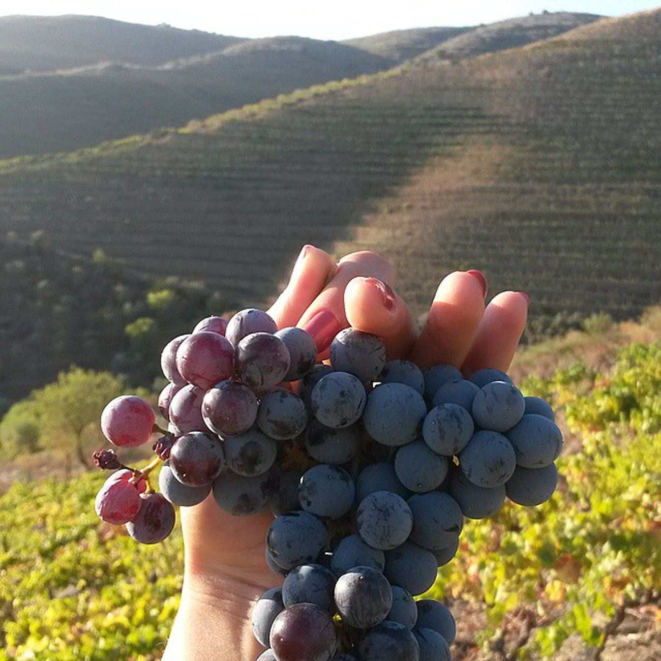 Gorgeous (and tasty) Mourisca. Douro  AltoDouroVinhateiro Ilovedouro Vindimas2014 Vineyards