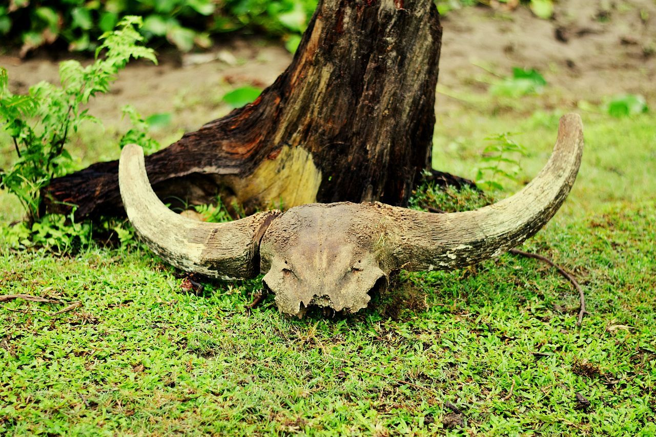 Animal Wildlife No People Animals In The Wild Outdoors Nature Skulls And Bones Buffalo Skull Of An Animal Death Remains Maguri_beel