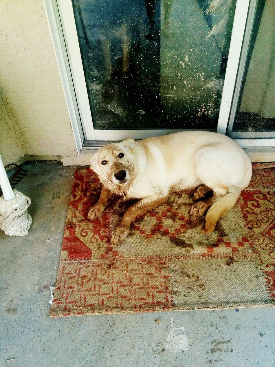 Poor baby :( Dog German Shepherd Goldenretriever Karly☺❤ Mud Trouble