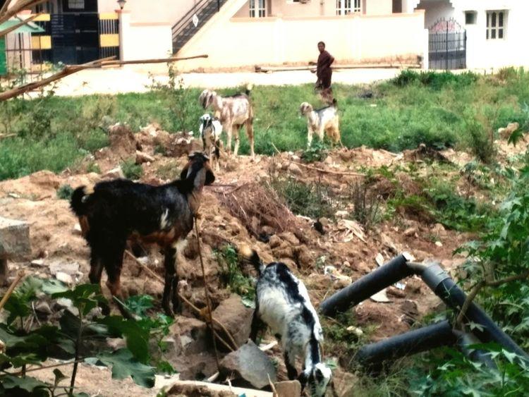 Animal Themes Domestic Animals Goat Kid Goat Mammal lady Lady Shepherd