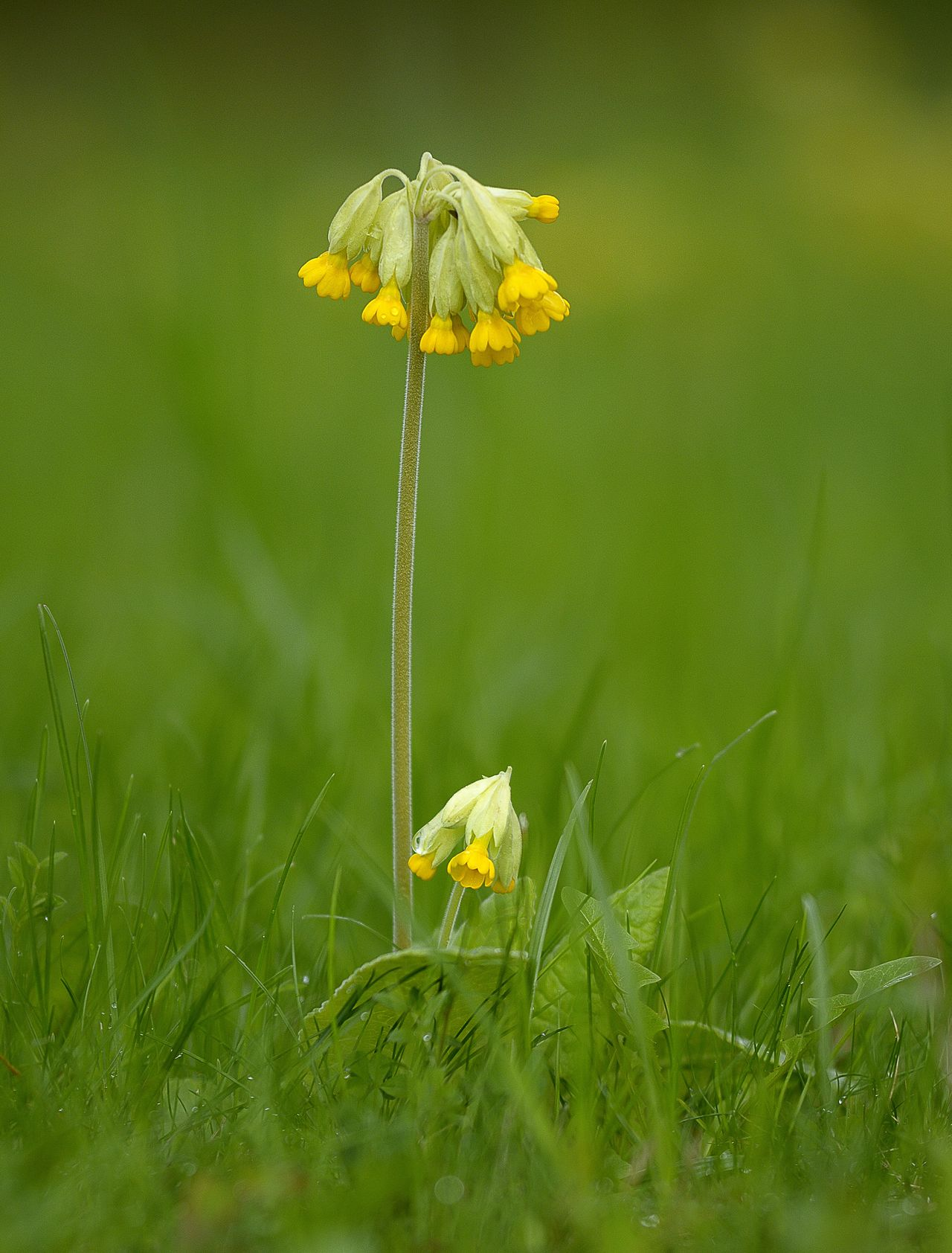 Beauty In Nature Close-up Field Flower Grass Macro Photography Nature Outdoors Primrose Springtime Yellow