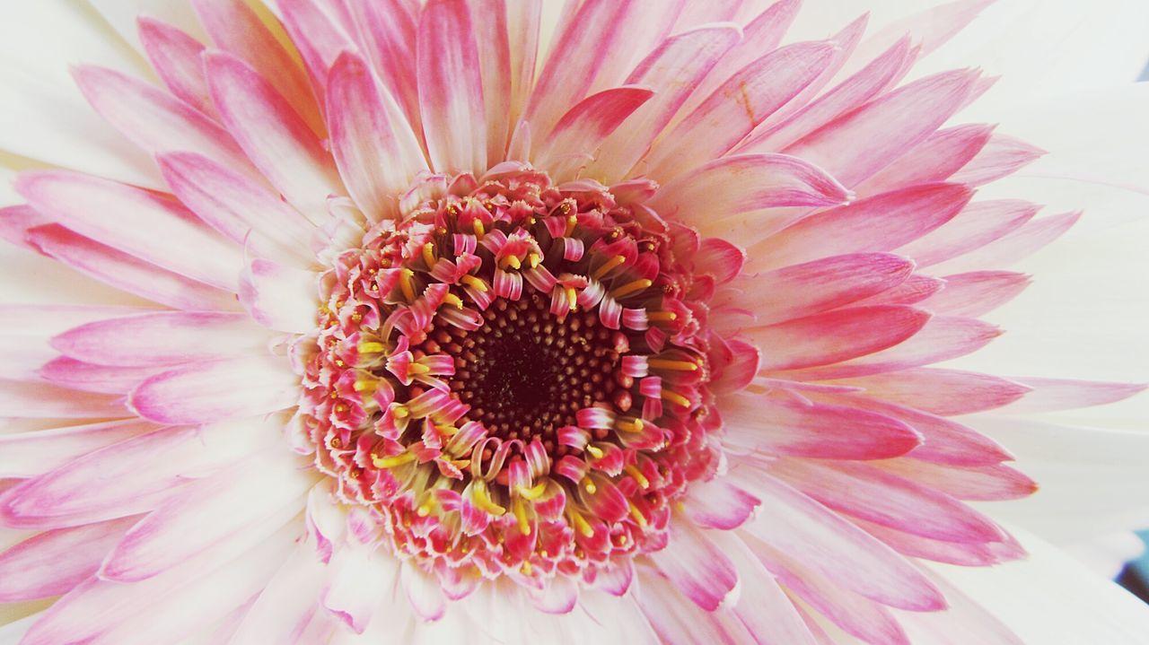 Macro Shot Of Pink Gerbera Daisy