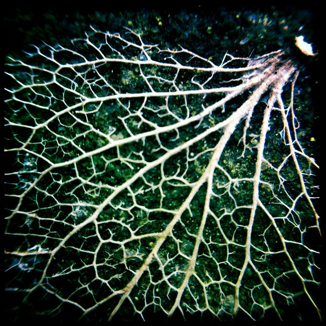 Playing with dead leaves and my ollo clip :) Beauty In Nature Close Up Close-up Decay Fragility Hipstamatic IPhone Leaf Leaf Vein Leaves Macro Natural Pattern Nature Ollo Clip Plant Square Veins Winter