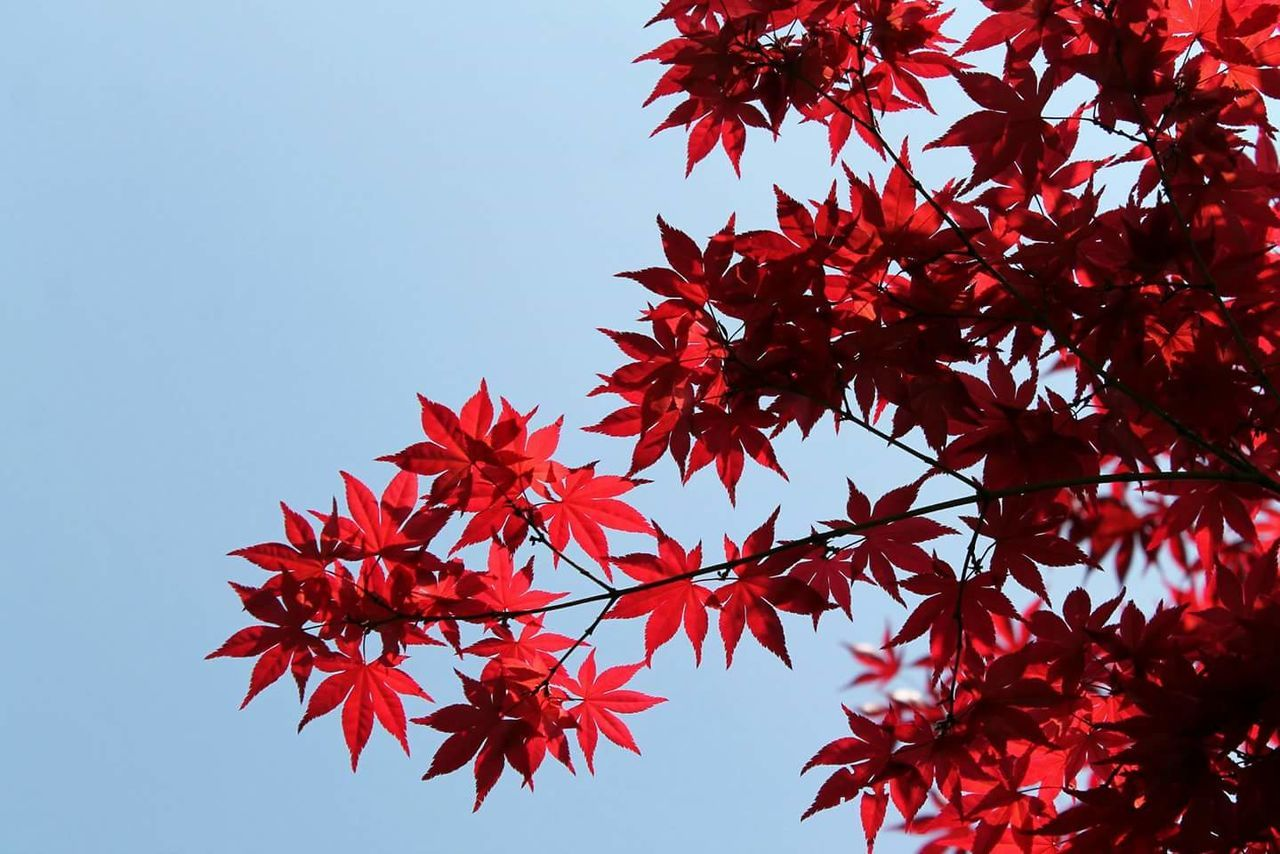 Low Angle View Of Maple Leaves On Tree Against Clear Sky
