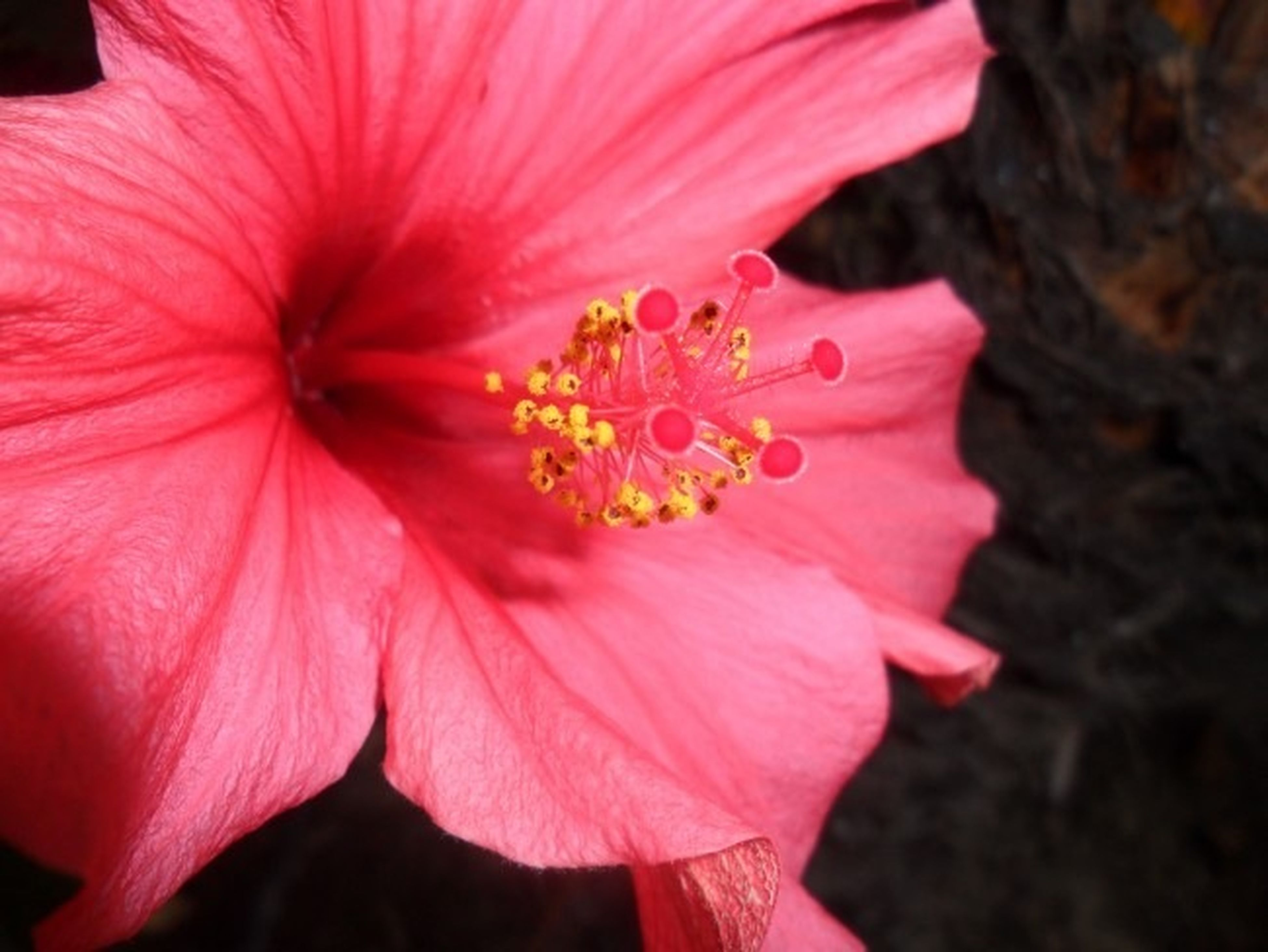 flower, petal, flower head, freshness, fragility, beauty in nature, growth, close-up, stamen, pink color, single flower, pollen, nature, blooming, in bloom, blossom, focus on foreground, botany, pink, plant