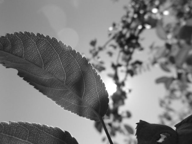 Black And White Photography Clear Sky Summer Day Contrast God Rays Leaf Selective Focus Sun Behind Trees Tree Trees And Sky Vein