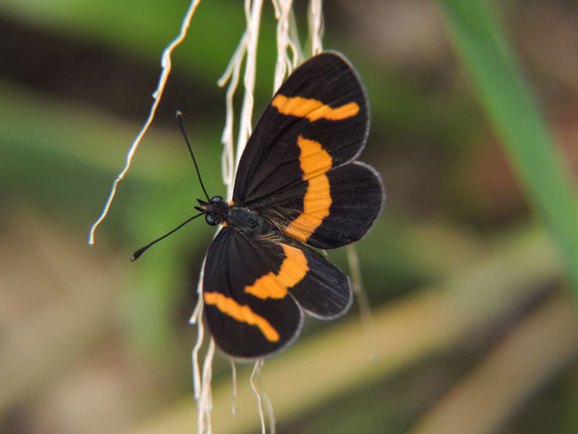 Animal Themes Animals In The Wild Beauty In Nature Brown Color Butterfly Butterfly - Insect Close-up Elf Fragility Insect Magazhu Nature No People One Animal Orange Color Outdoors Showcase November Yelapa