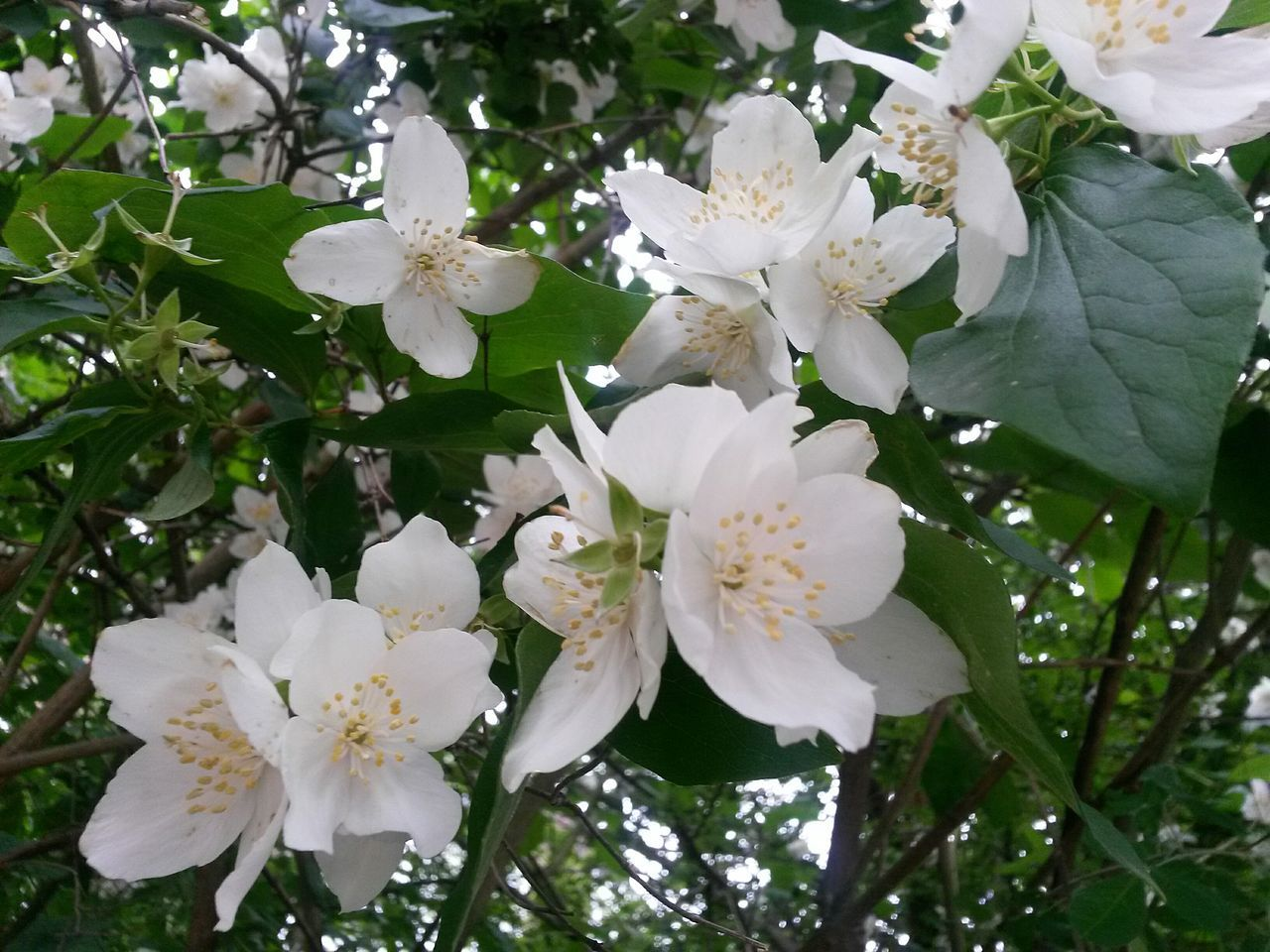 Growth Nature White Color Beauty In Nature Flower Close-up Springtime Blossom Outdoors Branch White Flower Jasmine Flower Freshness