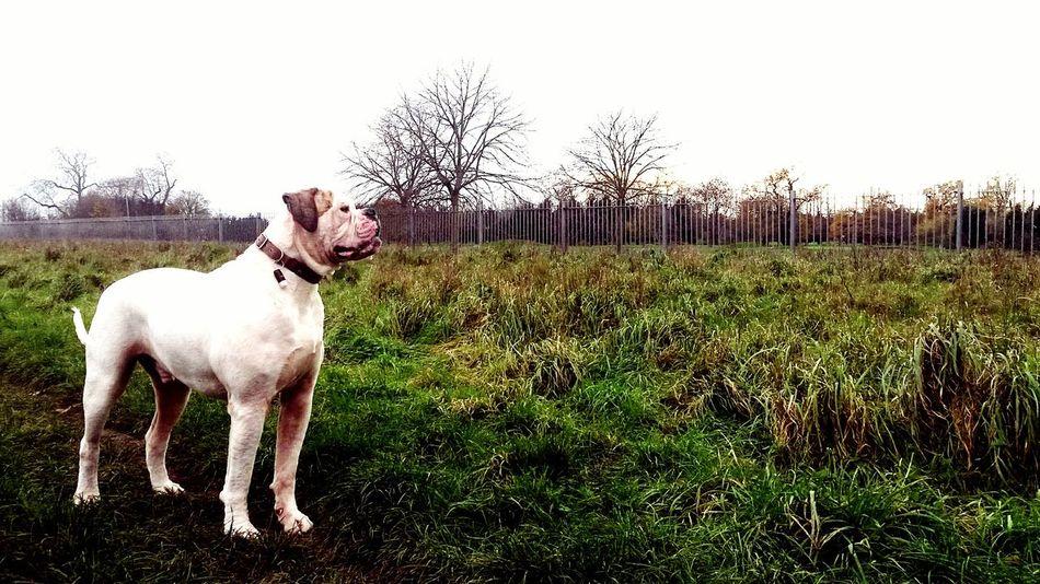 By Leesa Morris Mansbestfriend Dogs Of EyeEm American Bulldog Check This Out Taking Photos Essex Mydog♡ South Ockendon