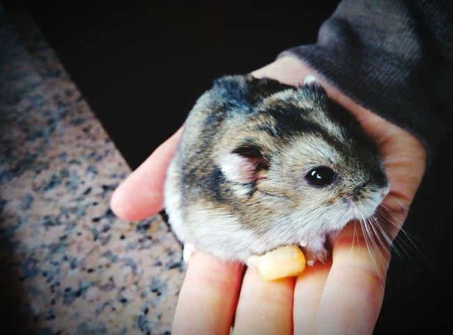 Criceto Cucciolo Topo Mouse Piccolo