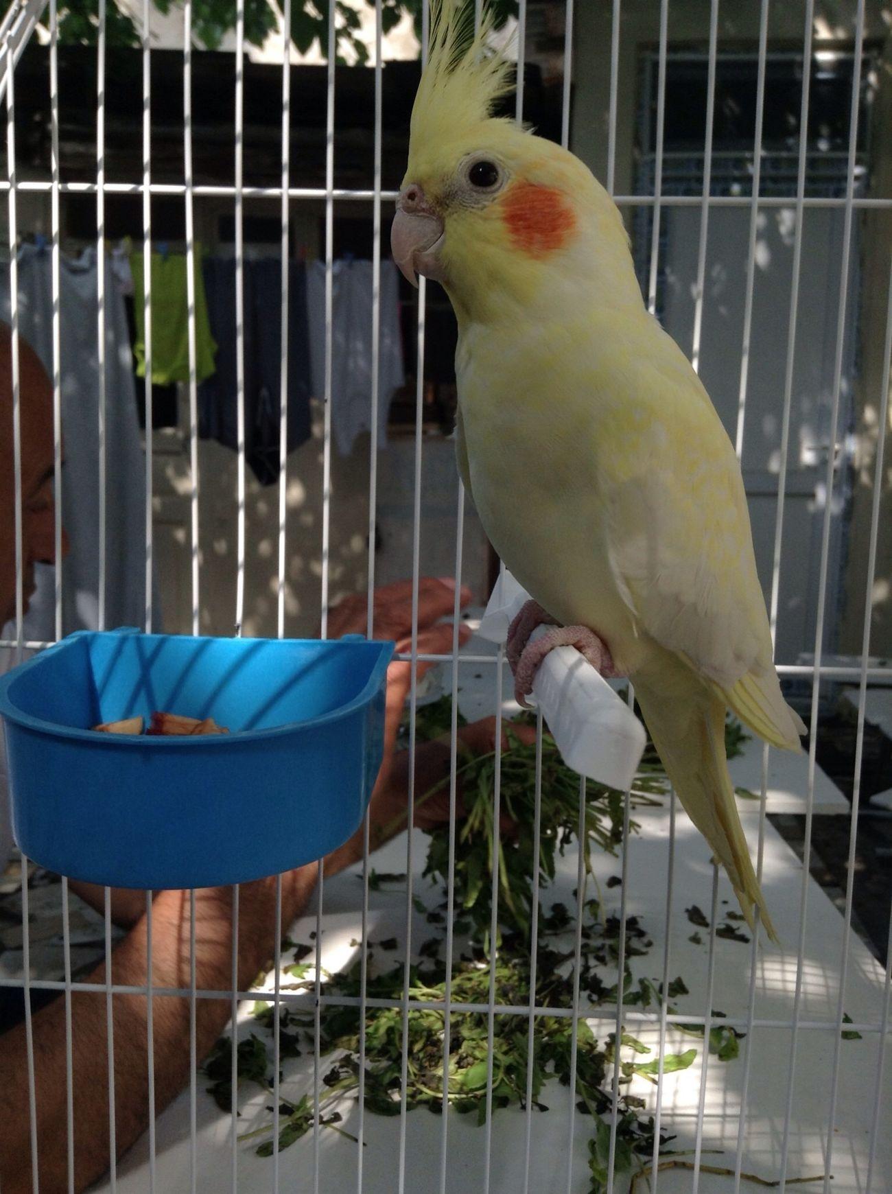 Sultanpapağanı Parrot Bird Cockatiel