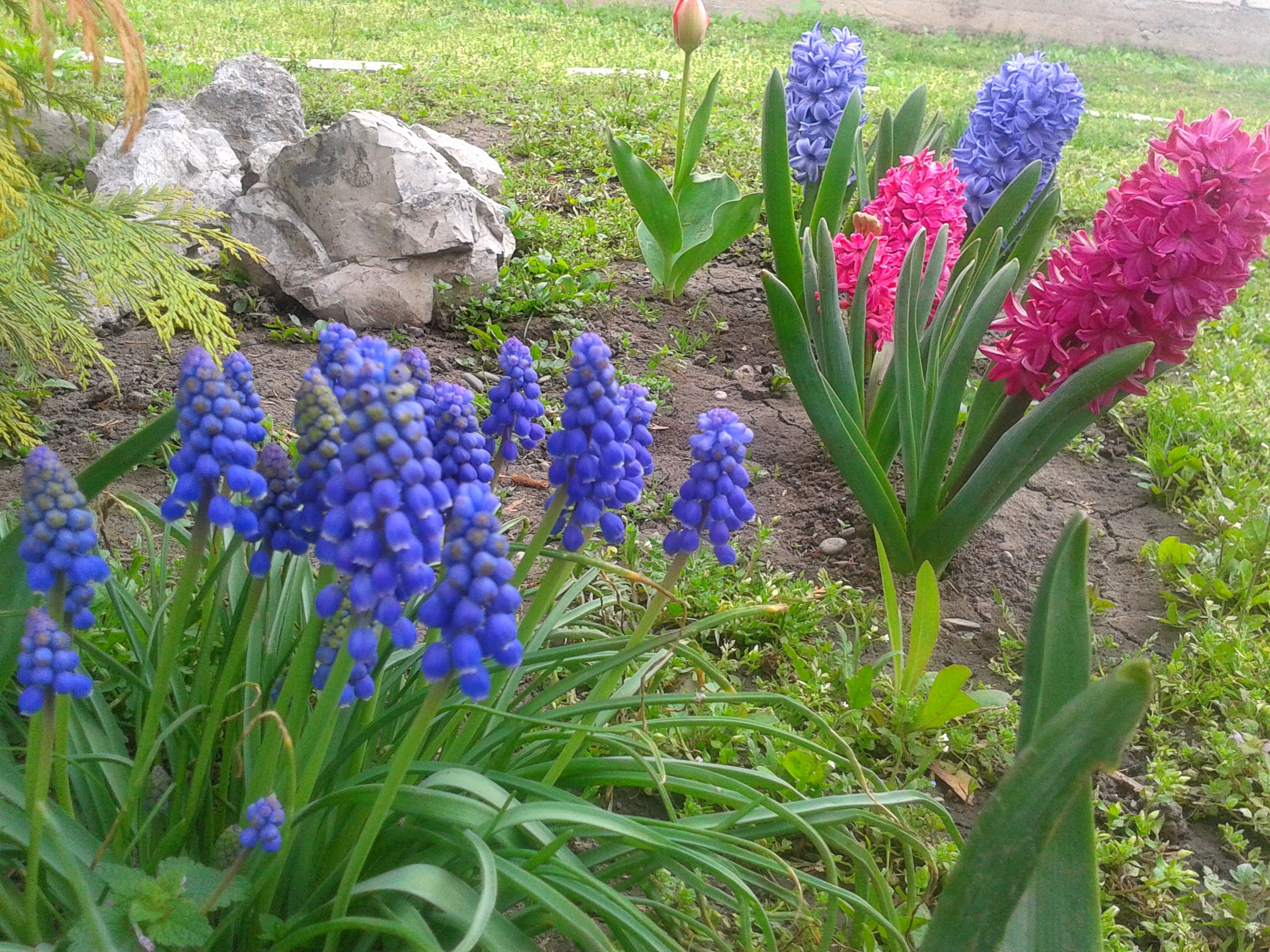 Мускари весна Backgrounds Springtime Leaf Purple Blue Muscari Muskari Muskatkürbis