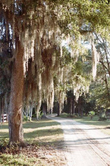Film Film Photography Filmisnotdead Green John's Island Johnsisland Light And Shadow Minette Minette Hand Minette Hand Photography Palmettotree Paris Pentax K1000 SC Shootfilm Shootfilmstay South Southcarolina Spanish Moss Trees