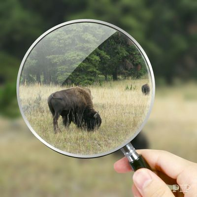 Up Close & Personal Wild Life Buffalo Summertime Outdoors In The Forest
