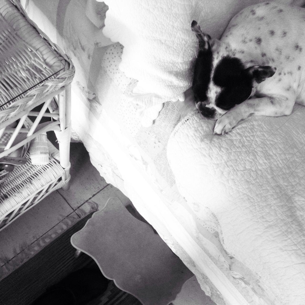 Boston Terrier Dormir Sleep Bed Cama