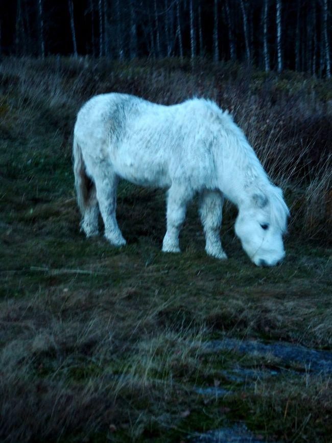 White Pony Shetland Pony Field Nature Evening Mystic Beauty In Nature Animals Horses Magic Moments