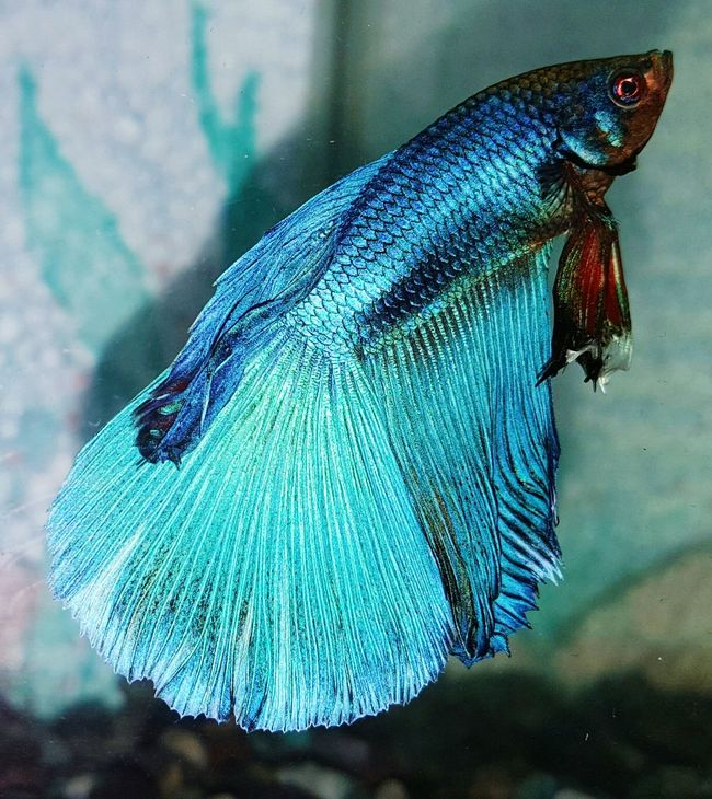 Check This Out Aquarium Fish Betta Fish Eyeem Photography EyeEm Gallery Blue Shade Fighter Fish Betta  Scales And Fins Pattern, Texture, Shape And Form Patterns And Shapes