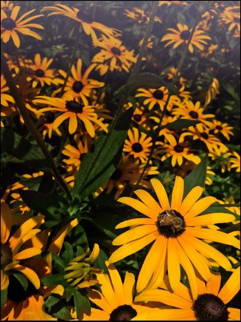 Bee Golly _ Black eyed Susan's - 8/3/16 The Journey Is The Destination Opportunistic Images On The Go IPhone Creative Edits W/ Snapped 'n' Enlight Fresh On Market August 2016 As I Sees It EyeEm StreetPhotography, NYC EyeEm Macro Collection malephotographerofthemonth Hidden Gems  Colour Of Life