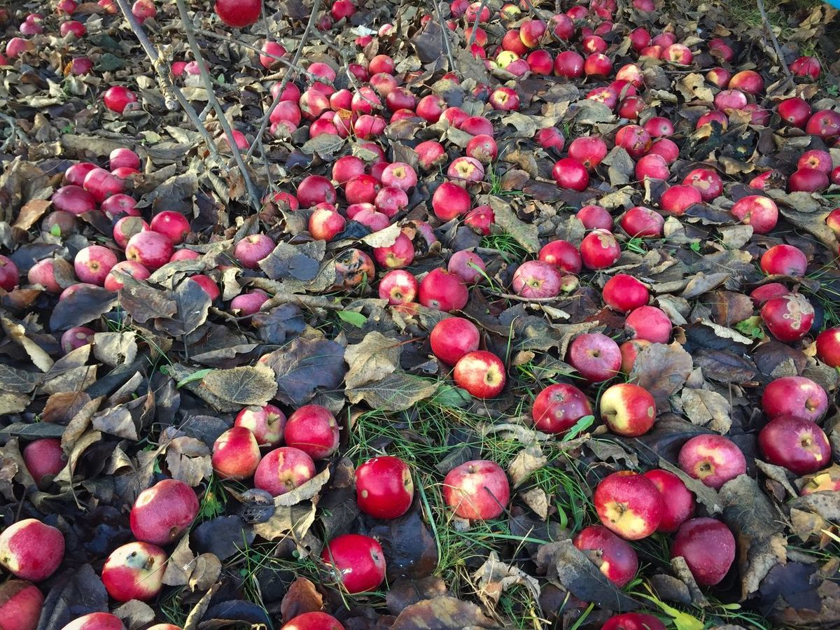 Red apples fallen on the ground Food And Drink Fruit Day Food Outdoors Freshness No People Nature Growth Red Healthy Eating Close-up Apples Fallen Ground Autumn Crop  Harvest Red Apples Ripe Fruits