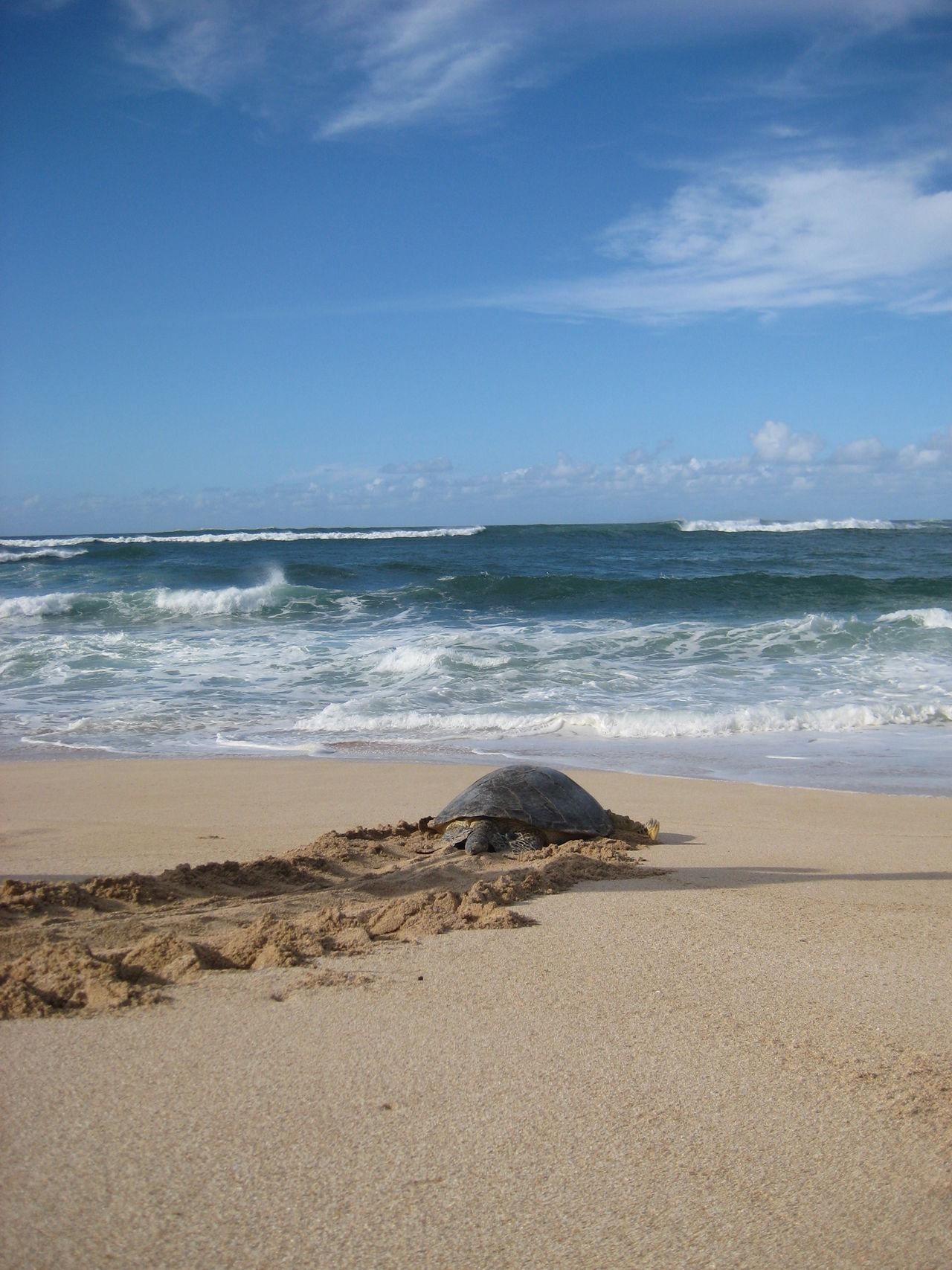 Beautiful stock photos of schildkröte, Animal Themes, Animal Wildlife, Animals In The Wild, Beach