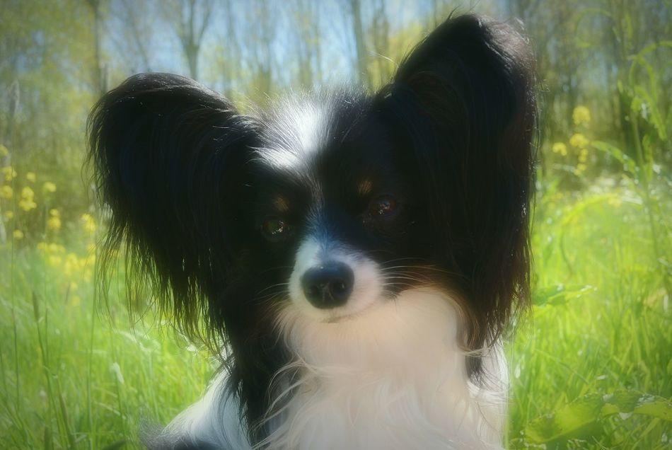 Epagneul De Papillon Vlinderhond Kiwi Blackandwhite Longhair Bigears Dog Love Dogoftheday Dog Portrait Hondje Portrait NL Delft Netherlands Nederland The Portraitist - 2016 EyeEm Awards