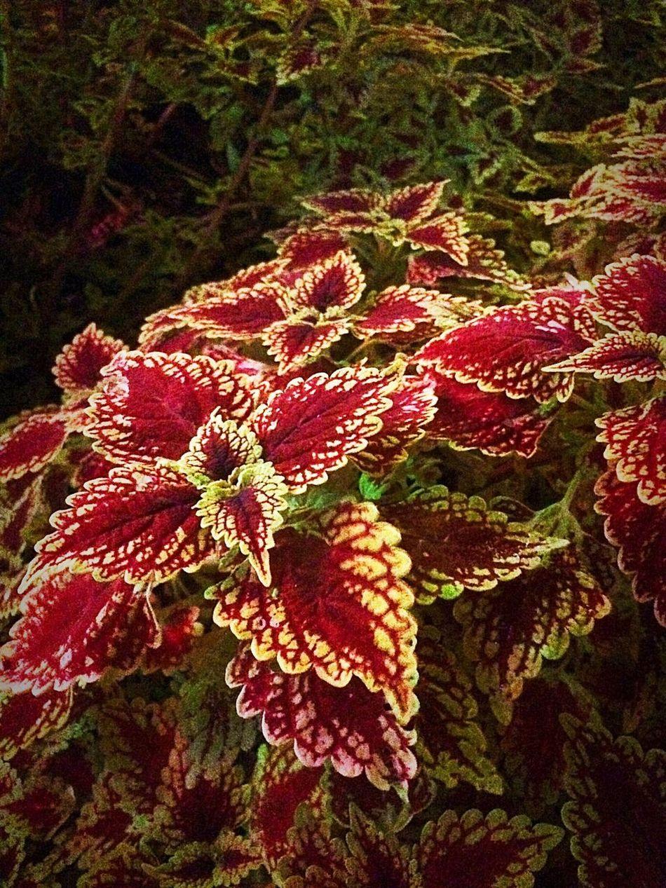 Pretty plants Coleus Plants