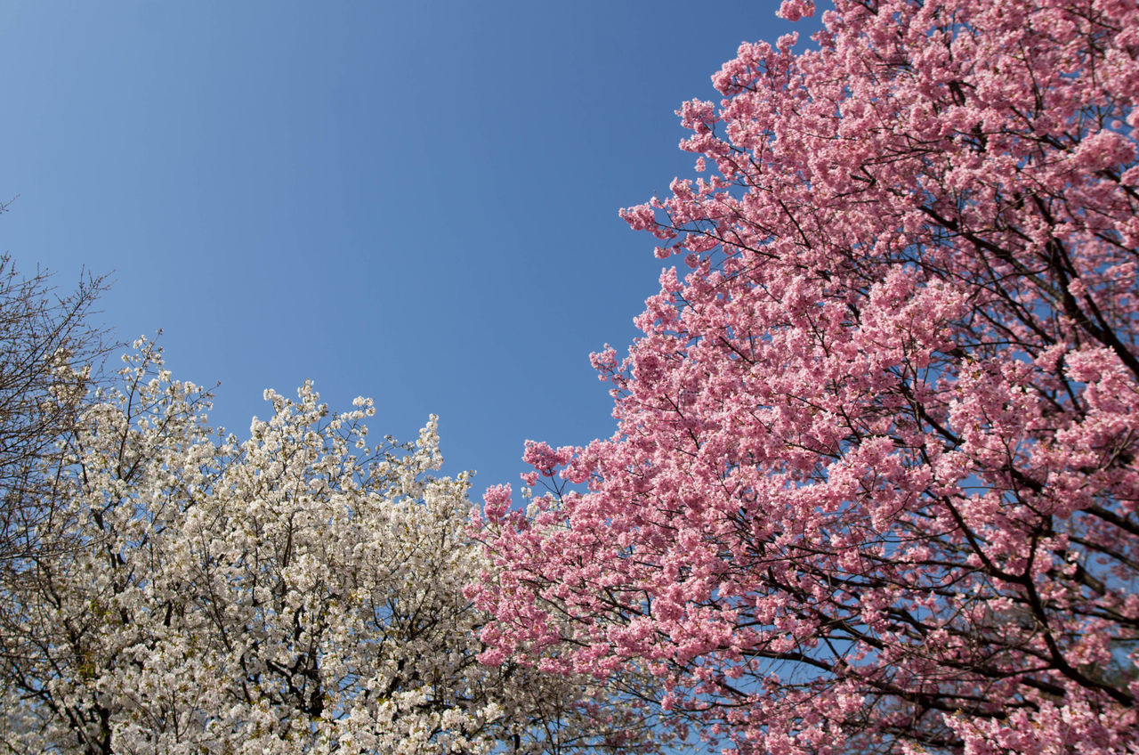 LOW ANGLE VIEW OF CHERRY BLOSSOM TREE AGAINST CLEAR SKY