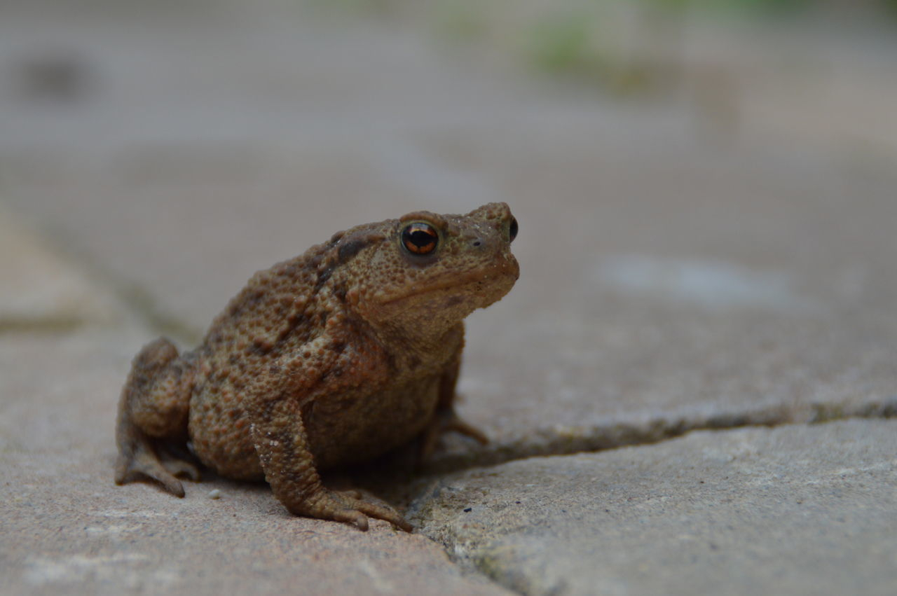 Sitting Toad Alertness Animal Animal Head  Close-up Day Focus On Foreground Ground Mammal Nature No People Outdoors Selective Focus Sitting Toad