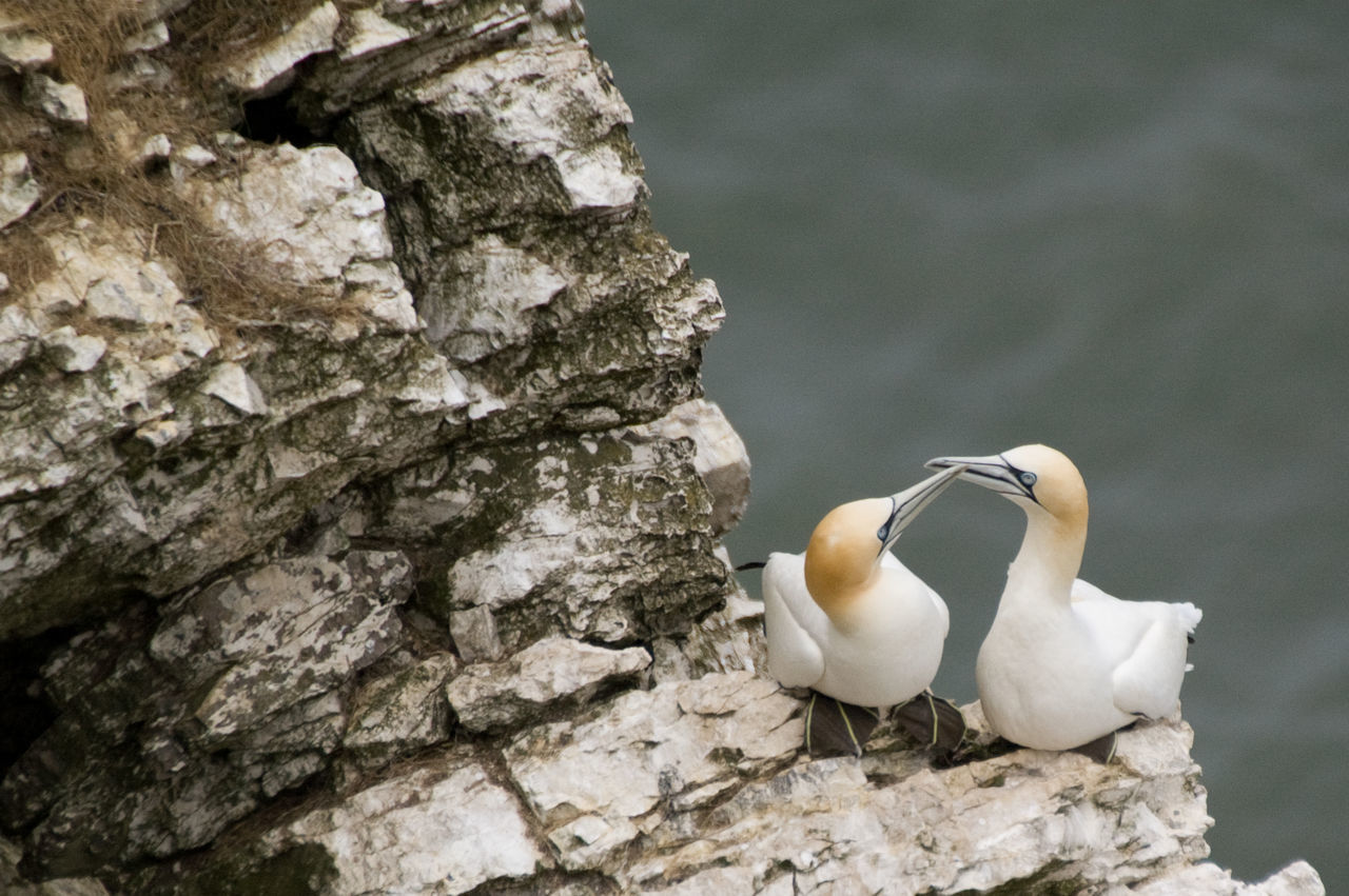 Gannets Seabirds Couple Love Birds Bempton Cliffs Coast Cliffs Rocks East Yorkshire Bridlington