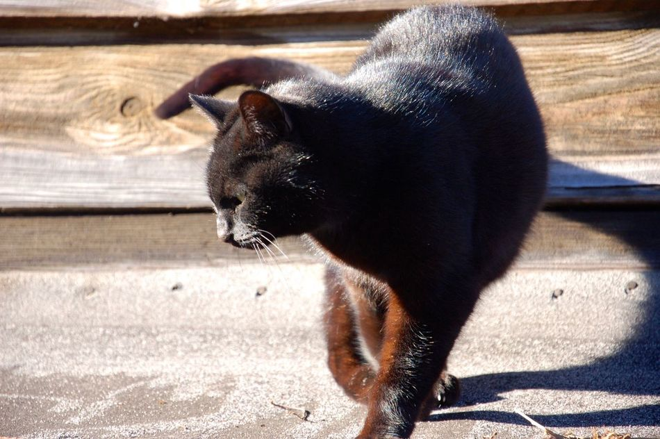 Black silky skin, beautiful cat. Animal Themes One Animal Mammal Domestic Animals Outdoors Day No People Nature Light And Shadow Beautiful Movement