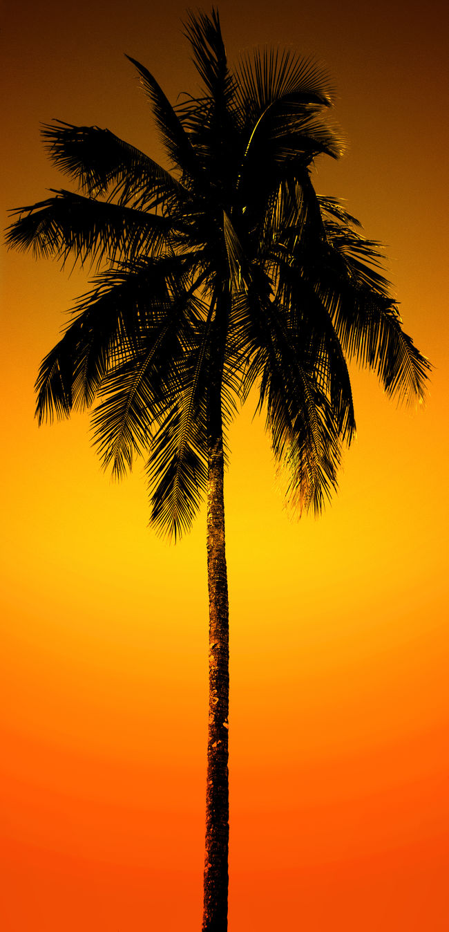 Black silhouette of a coconut palm tree over orange yellow sunset sky. Carribean Clipart Coconut Palm Tree Coconut Tree End Of The Day Goa Golden Hour Graphic Graphics No People Orange Color Outdoors Palm Leaf Palm Tree Palm Tree Silhouette Silhouette Silhouette_collection Sky Sun Sundown Sunset Sunset Silhouettes Tall - High Tree Tree Trunk