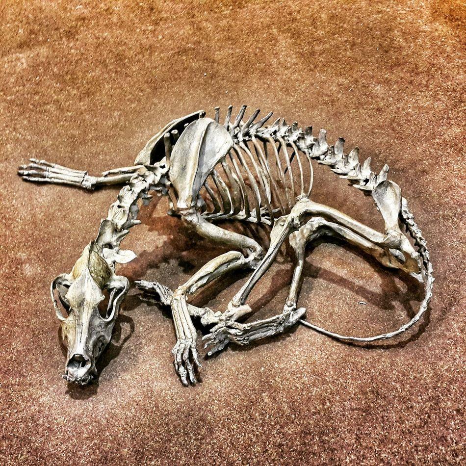 Waiting .... Dog Skeleton Art Bones