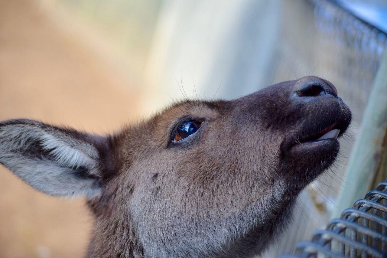 Beautiful stock photos of kangaroo, Animal Body Part, Animal Head, Animal Themes, Animals In Captivity