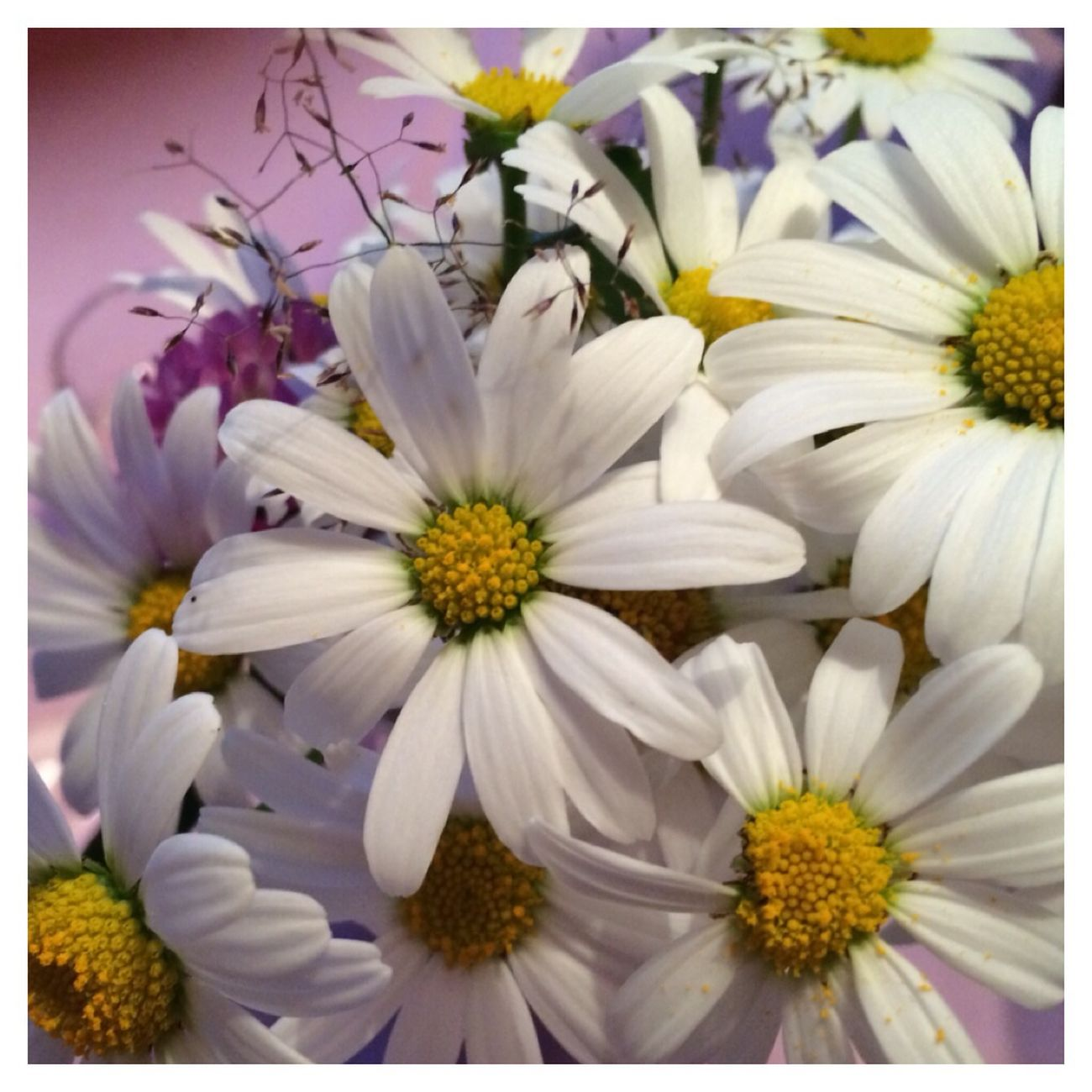 Flowers Oxeye Daisy Summer Flowers Happiness