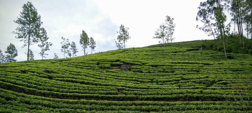 A blissful train journey through Tea Plantations in Ceylon Teaplantation Teaestate Green Hello World EyeEm Best Shots EyeEm Gallery EyeEm Nature Lover Open Edit OpenEdit Sri_lanka Kandy Trainjourney