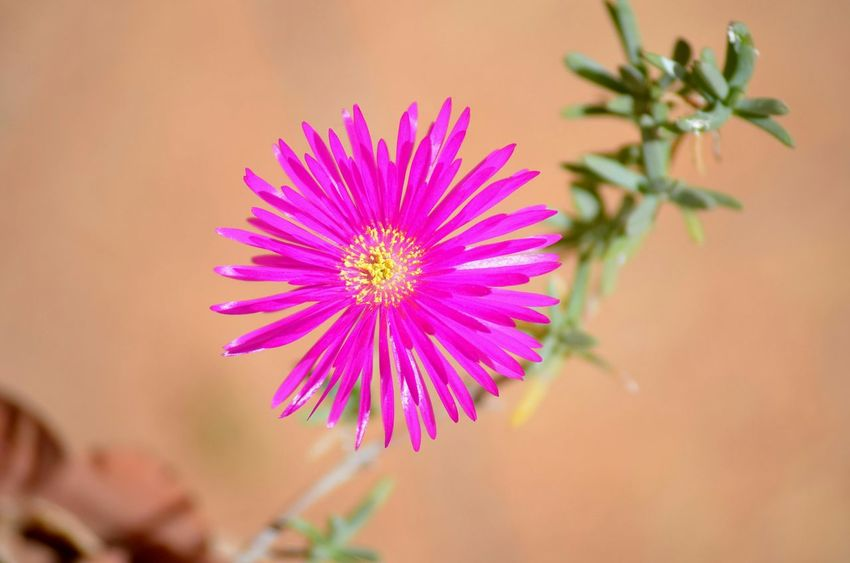 Lonely Flower Flowers Nature Violet Beautiful Oujda Morocco