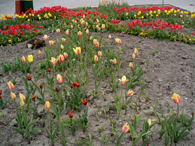 The sleeping beauty among the tulips. Auckland Flower Bed Flowers Novorossiysk Tulips Sleeping Dog Spring Spring Flowers Tulips Yellow & Red Striped Tulips Sleeping The Street Photographer - 2016 EyeEm Awards