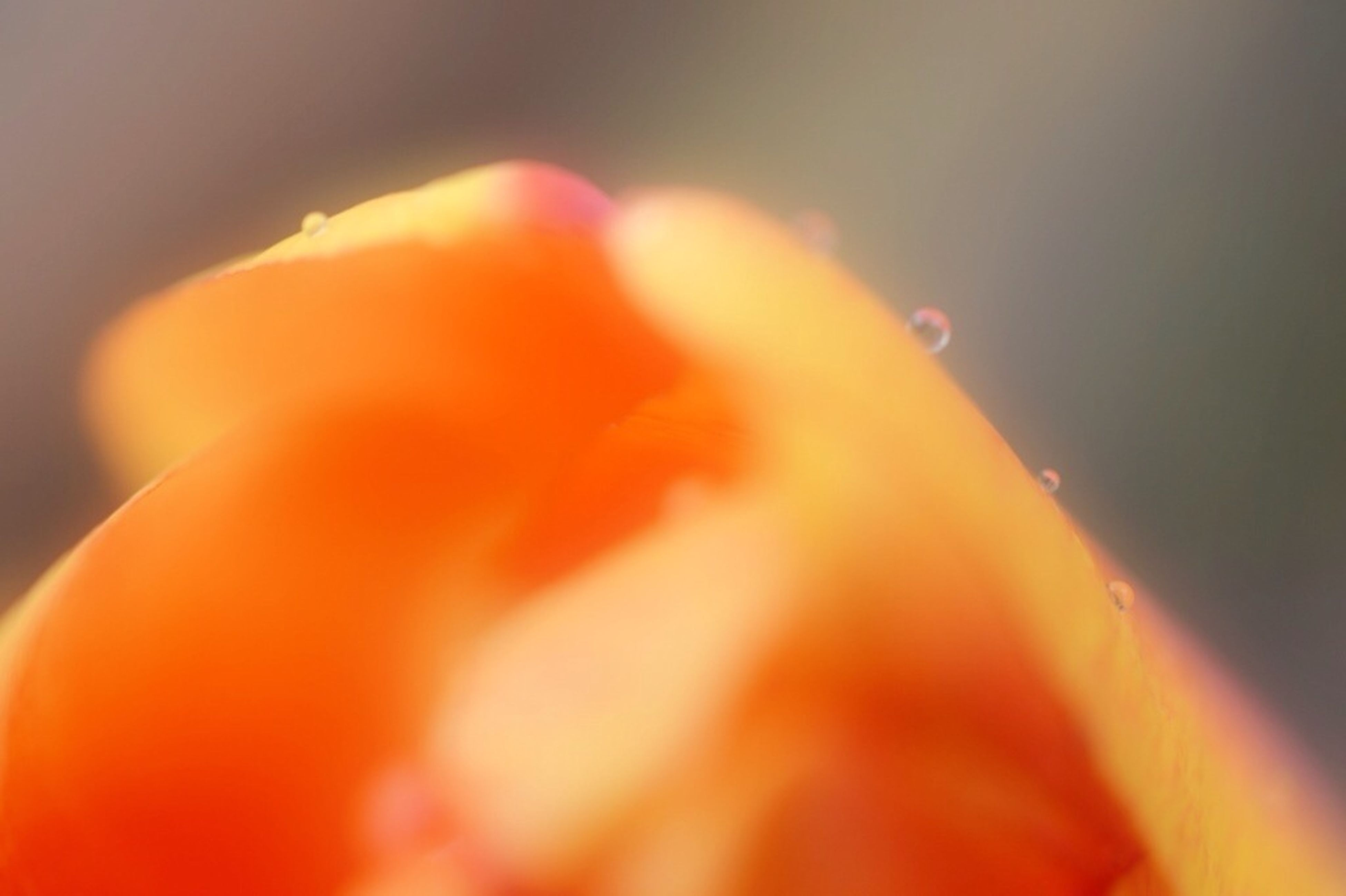 close-up, selective focus, orange color, focus on foreground, freshness, flower, beauty in nature, fragility, petal, nature, growth, no people, red, outdoors, yellow, flower head, single flower, day, macro, part of