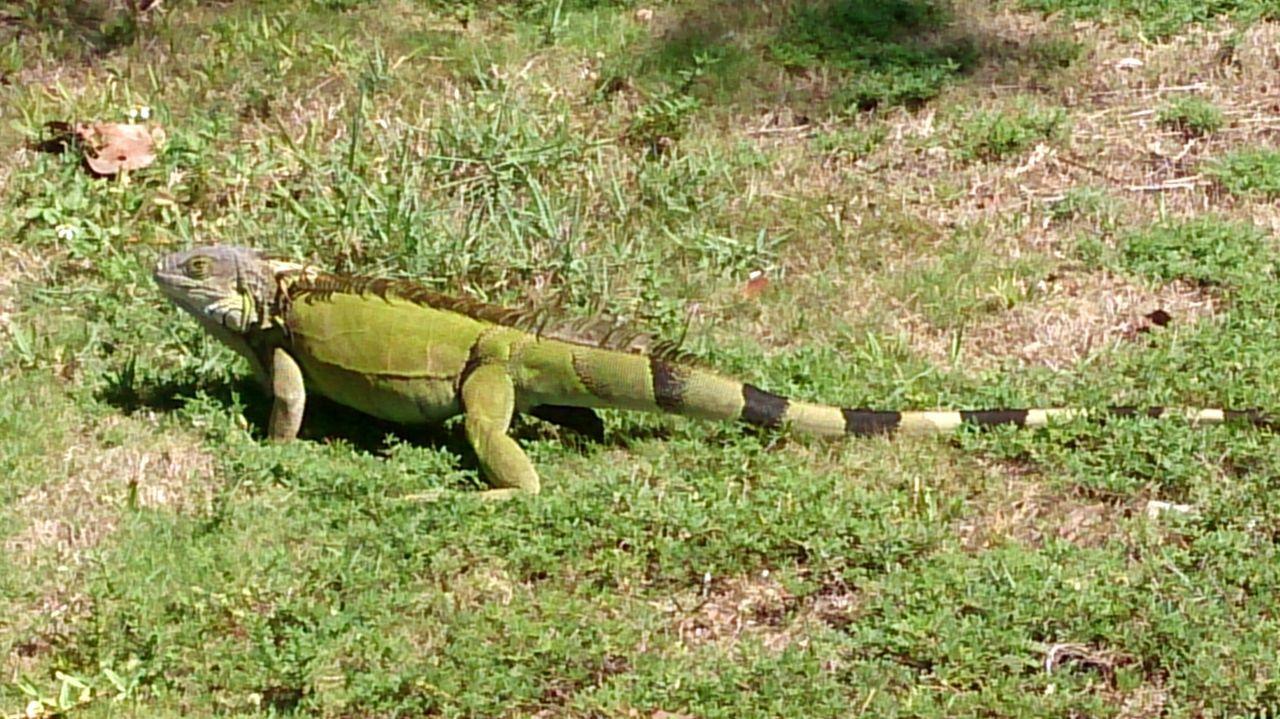 Floridian Squirrel Florida Wildlife Lizard Iguana